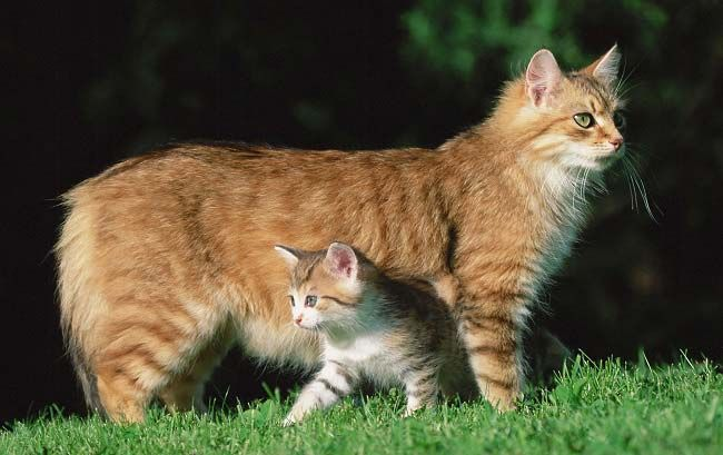 Manx Cat Breed Cat Breeds Cats Cats And Kittens