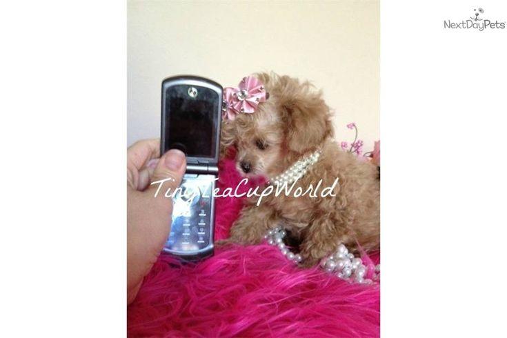 Poodle, Toy Puppy for Sale: MICRO TEACUP POODLE - 425ce3a9-2d71