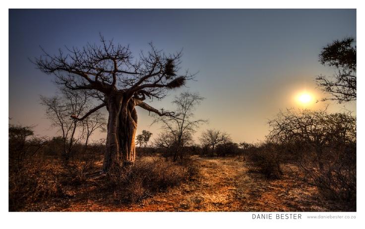 Baobab Bakstaan Game Lodge Limpopo Photo By Danie