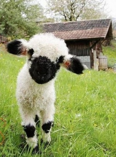 Young Balck & White #Sheep