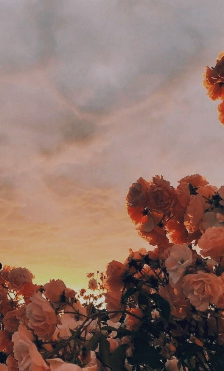 Pfirsich Himmel Tapete Himmel Pfirsich Tapete Aesthetic Iphone Wallpaper Flower Wallpaper Plant Photography