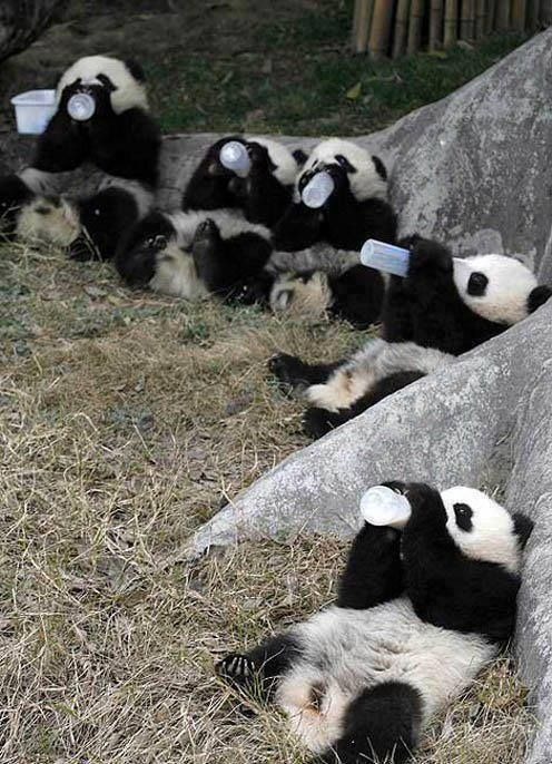 a 2006 study via DNA analysis estimated that there could be as high as 2,000 to 3,000 panda alive today.