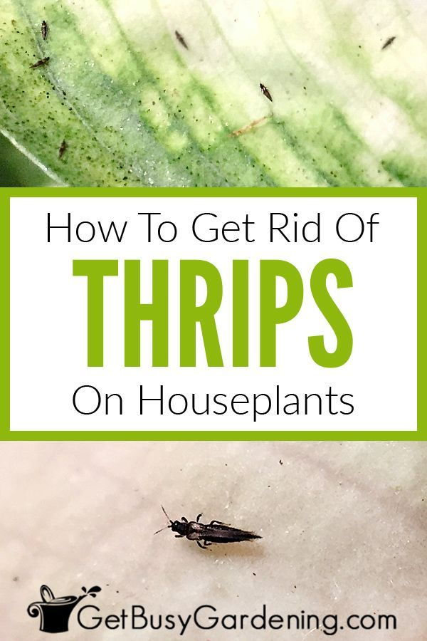 How To Get Rid Of Thrips On Houseplants Houseplants Plant Leaves How To Get Rid