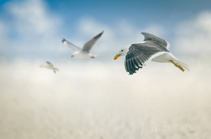 Three Albatrosses coming in to land on a beach with a Bokeh/Blurred background.