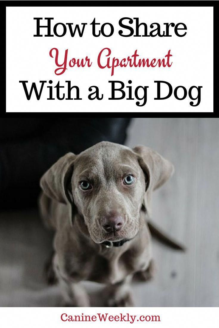 How To Share Your Apartment With A Big Dog Howtohousetrainadog