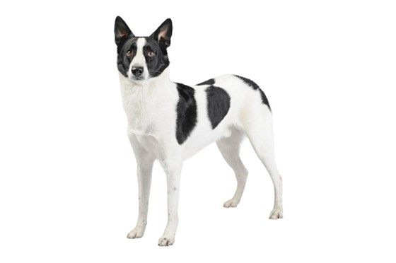 The Canaan dog, known in Israel as Kelev Kna'ani and other Levantine countries as Kaleb Kana'an is a breed of pariah dog recognized as Israel's national breed.