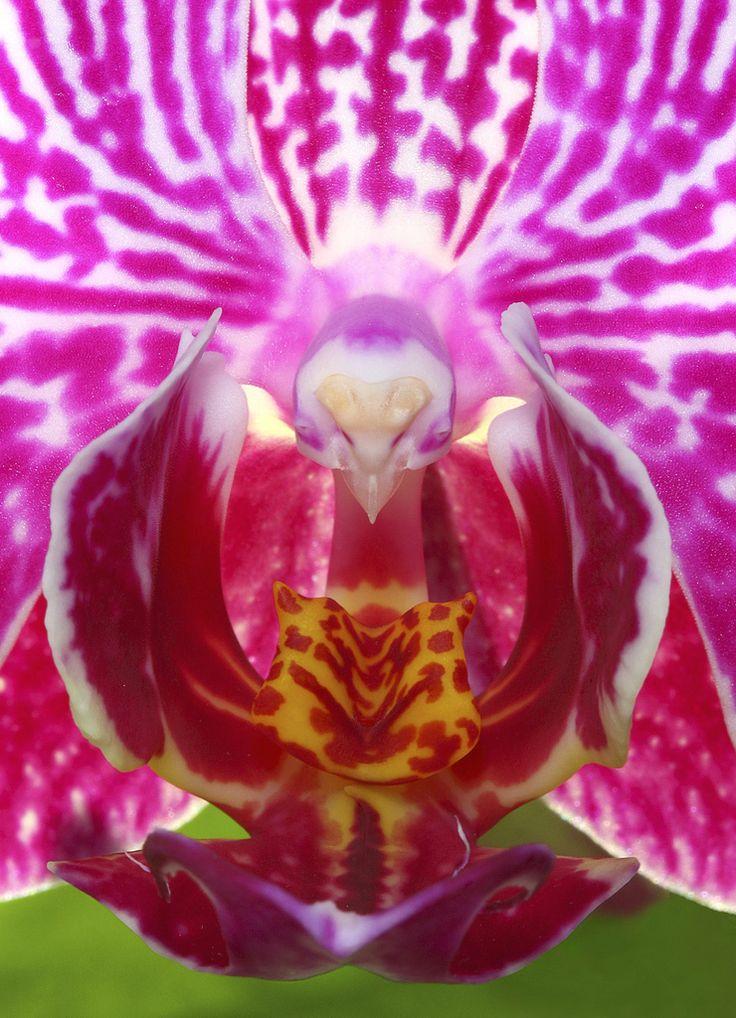 Orquídeas cabeza de pájaro  Phalaenopsis es el género de orquídeas más popular por su utilización cómo plantas ornamentales.  El género Phalaenopsis, originario del sudeste asiático, comprende a unas sesenta especies de orquídeas cuya forma se asemeja normalmente a las mariposas. De entre esas 60 especies muchas de ellas son híbridos artificiales.