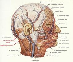 For a person with severe tenderness just below their occiput, a list of the most common sources of pain include: occipital neuralgia cervical facet pain (involving one of the higher cervical facets) migraine and variants (tension, cluster) myofacial pain syndrome with a trigger point in occipital area factitious (i.e. claiming to be in pain to obtain strong pain drugs or financial compensation) Occipital nerve