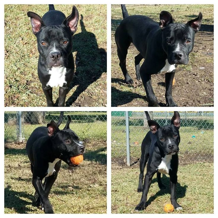 American French Bull Terrier dog for Adoption in Lake Jackson, TX. ADN-407921 on PuppyFinder.com Gender: Male. Age: Young