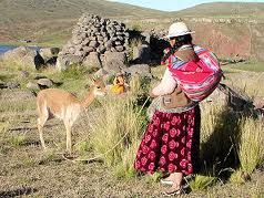Image result for vicunas in peru