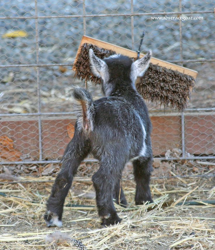 """Self brushing station."" Broom head is zip tied to the fence (easy!!!)  #abstractgoat, #goats, #pygmygoat"