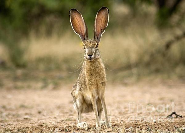 Easter Black Jack Rabbit Baja 49