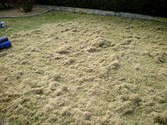 Résultat de la scarification de la pelouse ou du gazon.