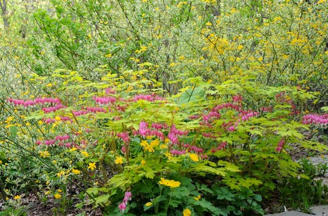 """Pretty spring combination: """"By the time the Euphorbias are in full swing, the golden bleeding heart (Dicentra spectabilis 'Gold Heart') is in full glory, here nestled in a swirl of gold-flowered Kerria japonica 'Picta,' an easy old-style shrub for semi-shade."""" - Margaret Roach"""