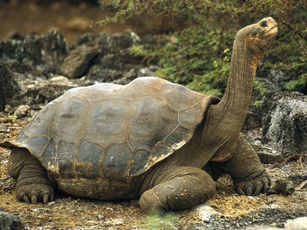 Galapagos Tortoise Fast Facts~  Type:  Reptile  Diet:  Herbivore  Average life span in the wild:  100 years+  Size:  4 ft (1.2 m)  Weight:  475 lbs (215 kg)  Protection status:  Endangered  Did you know?  Today the 3,000 to 5,000 tortoises that live on Volcano Alcedo on Isabela Island are the largest group of giant tortoises in the Galápagos.