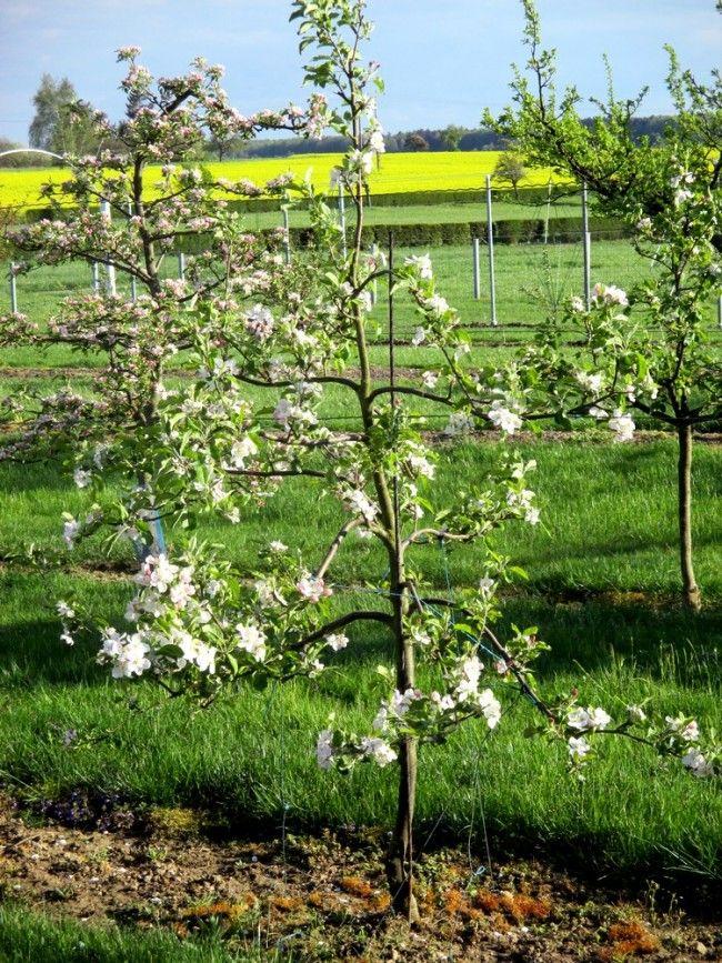 Les 67 meilleures images propos de former un arbre for Arbre fruitier