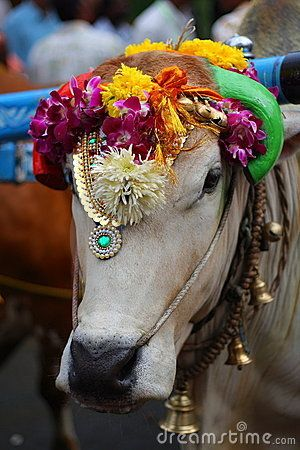 INDIA The sacred cow.....Lots of people worship cows in India.