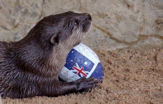 The first State of Origin match kicks off tomorrow, and Lou the otter reckons he knows who's going to win.   This Otter Scoring A Try On A Tiny Rugby League Pitch Is The Cutest
