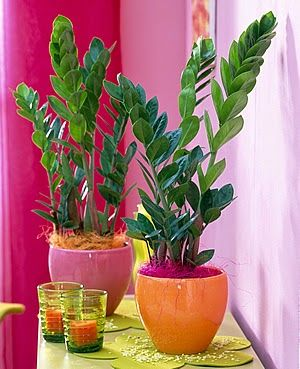 Комнатные растения фото и названия: Долларовое дерево (Замиокулькас). Как ухаживать за...