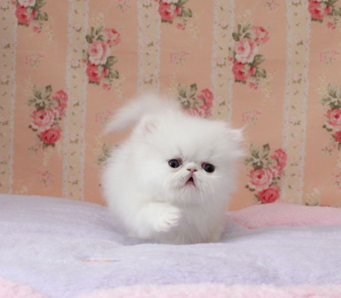 doll face persian kittens | Cute Cats Pictures