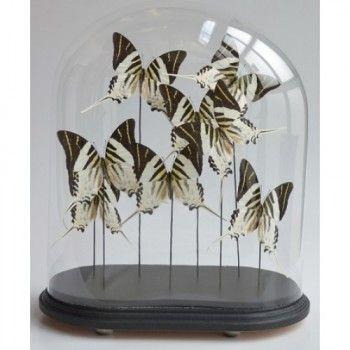Antiek glazen stolp met opgezette Graphium vlinders