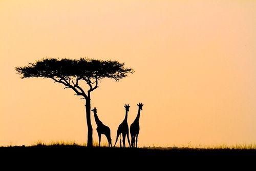 Silhouettes on the Masai plains