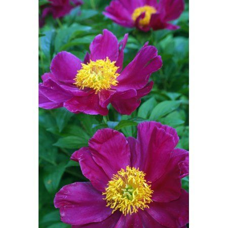 Posterazzi Pianese Flowers Canvas Art - Natural Selection Tony Sweet Design Pics (24 x 36)