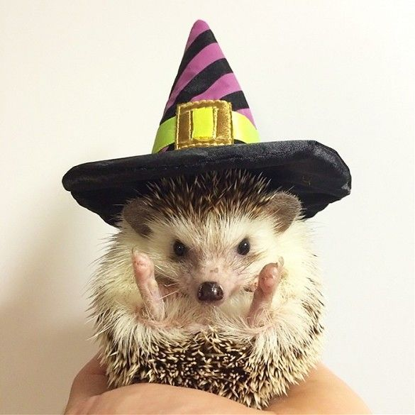 Biddy the Hedgehog wears a mini witch hat in the spirit of the holiday.: