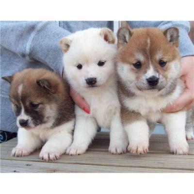 shiba inu puppies -too cute!
