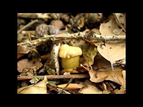 Pilze sammeln und putzen - Beides ist wichtig (HD) Dieser Film zeigt einige hilfreiche Techniken zum #Pilze suchen und Pilze putzen.