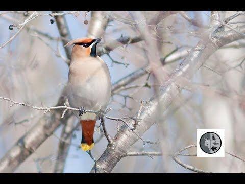 Birds of Quebec: Cedar Waxwing and Bohemian Waxwing