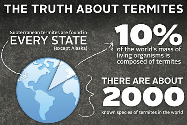 Termite facts of the day. #Termites  make up about 10% of the world's organism mass and a single queen termite can produce at a rate of about 6,500 termites a day. That's a lot of terminates! Hire your local #Hitmen‬   for termite extermination! Call (925) 462-9910