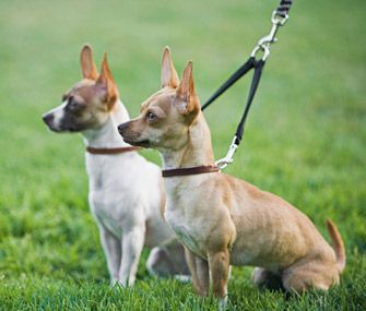 Walking two dogs at one time can leave a pet parent feeling pulled in two directions — literally. Trainer Mikkel Becker offers training tips to keep your dogs moving forward on a walk.