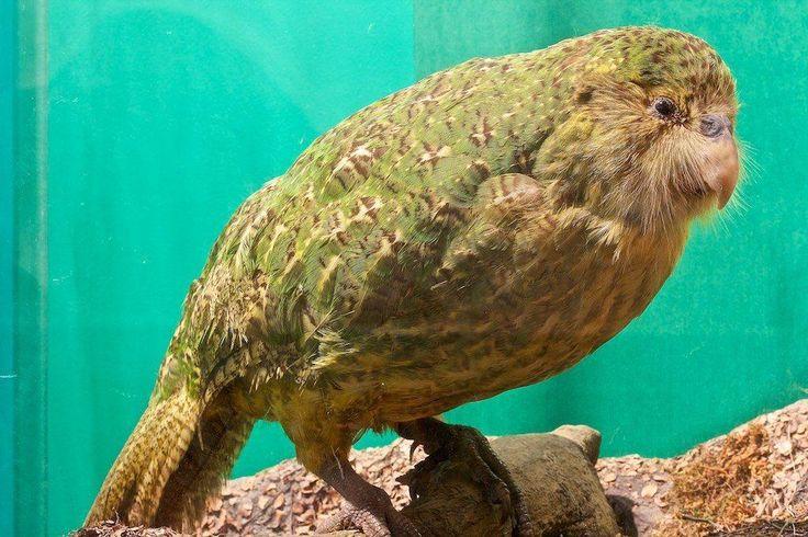 Kakapo-papegøjen er den tungeste papegøje i verden og samtidigt den eneste af arten, der ikke kan flyve. Den er også nummer 2 på listen over de grimmeste truede dyrearter på kloden. Foto: Flickr