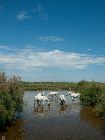 Camargue White Horses, Camargue, Saintes-Maries-De-La-Mer, France