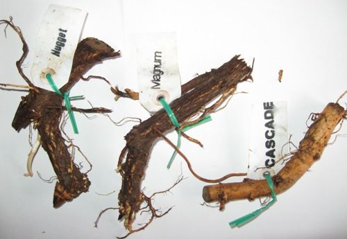 Where to Buy Hop Rhizomes Online | Growing Hops Yourself