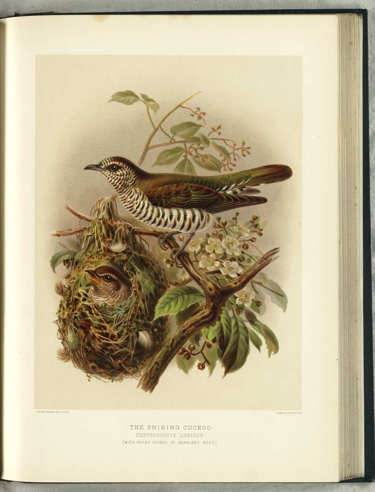 NZ Shining Cuckoo (with young) by JG Keulemans (from Walter Buller's 'A History of The Birds of New Zealand' - 1870's)