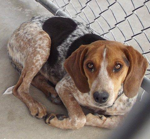 beagle blue tick hound mix | My Dog Farm board! | Pinterest