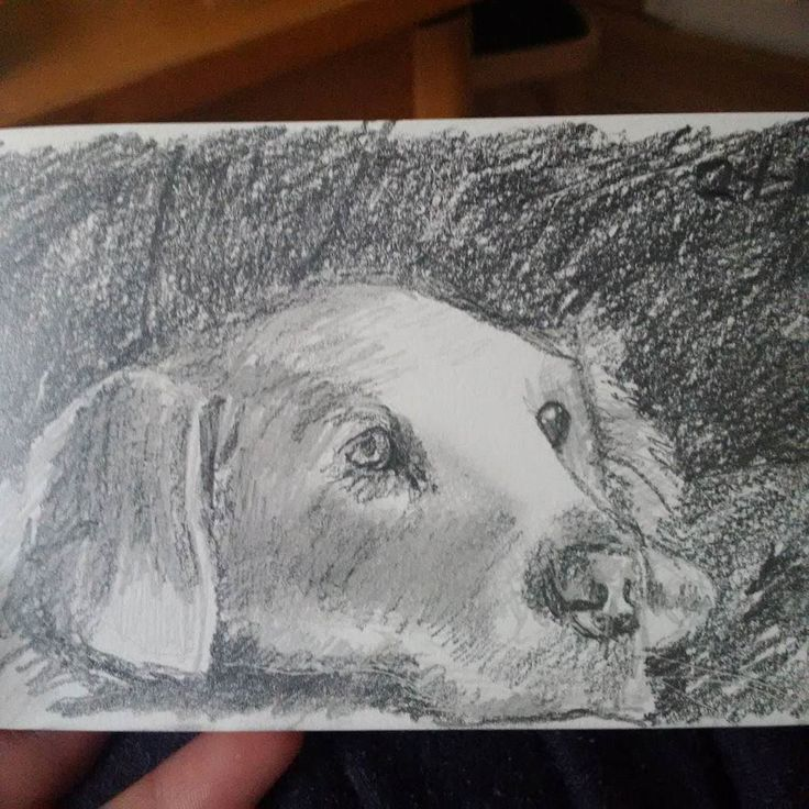 #sketch of a #comfy #labrador in #pencil. Hope you like it! #drawing #drawmypet #dogs #twitter #portrait #study #dogstagram #dog #dogsofinstagram #doggie #pup