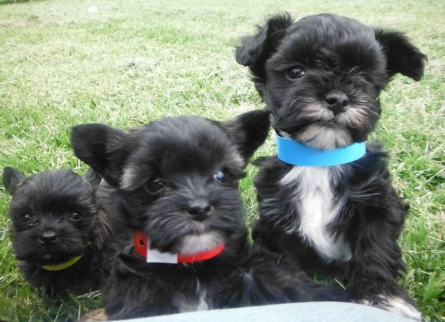 56 best Teacup Yorkiepoo they're adorable images on ...