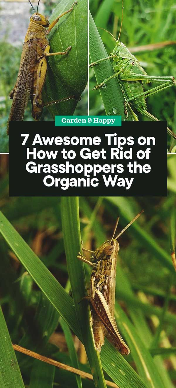 6e45d398f88760411bd8cdddfafce838 - How To Get Rid Of Grasshoppers On My Plants