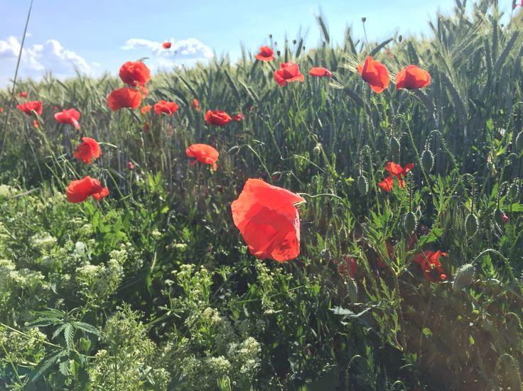 Wild Red Beautiful Poppies.