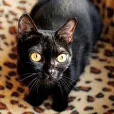 Bombay cat - likes to play fetch! Bred to look like black panther!