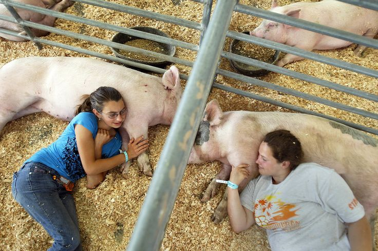 2016 - Allen J. Schaben - Westminster High School Future Farmers of America students cuddle their pigs in between grooming and preparing them to be shown in competition at the Orange County Fair in Costa Mesa, California.