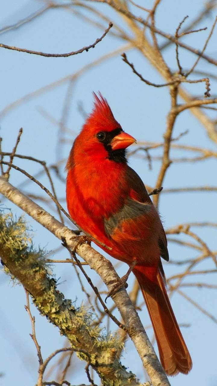 2010 best cardinal pictures images on pinterest cardinals red cardinal buycottarizona