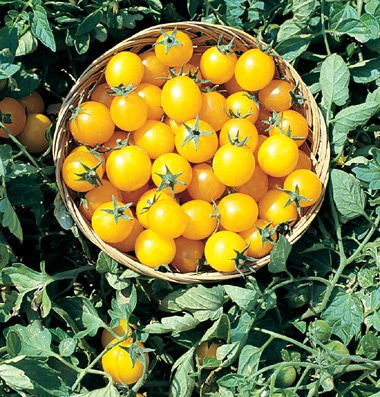 Gold Nugget Cherry Tomatoes 25 Organic Seeds