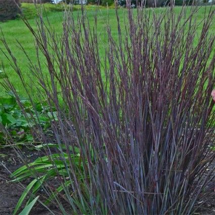 Schizachyrium scoparium 39 smoke signal 39 avant gardens for Giant ornamental grass