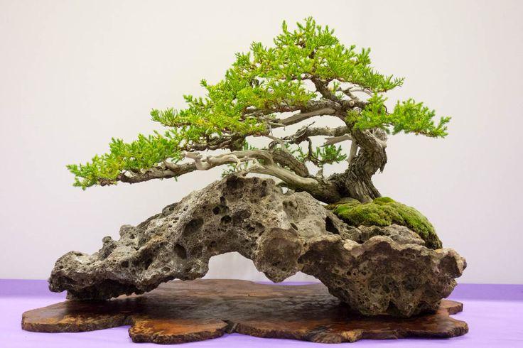 Juniper Bonsai Tree.