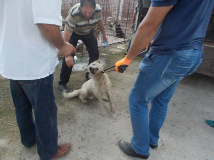 """WARNING FOOTAGE IS DISTURBING AND WILL MAKE,SAD AND ANGRY! Romania-Horror at the Targu-Jiu Public Shelter! (scroll for English) SHARE EVERYWHERE!!! This is the way ALL dogs are treated in Public Shelters!!! This is why we fight so hard against Romanian government and the """"euthanasia-law"""",FORGET THE WORD EUTHANASIA THAT IS NOT WHAT IS HAPPENING! For more info visit: https://www.facebook.com/HelpdogsinTgJiuPublicShelter MASSIVE SHARE!! ALL SHOULD KNOW THE TRUTH AND DOGS GET HELP!!"""