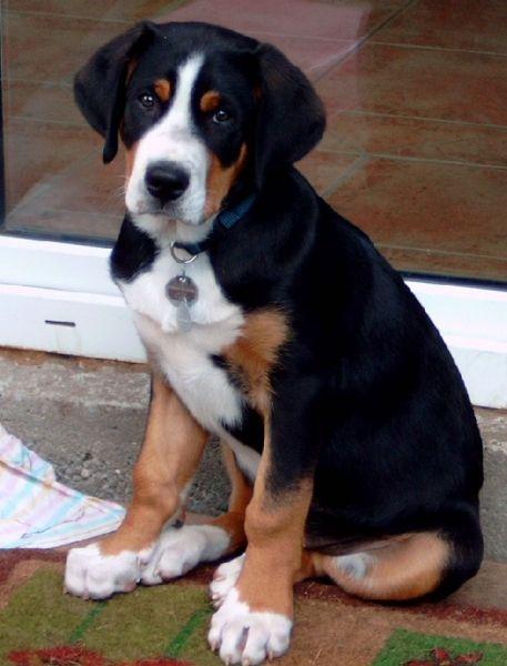 Grosser Schweizer Sennenhund puppy